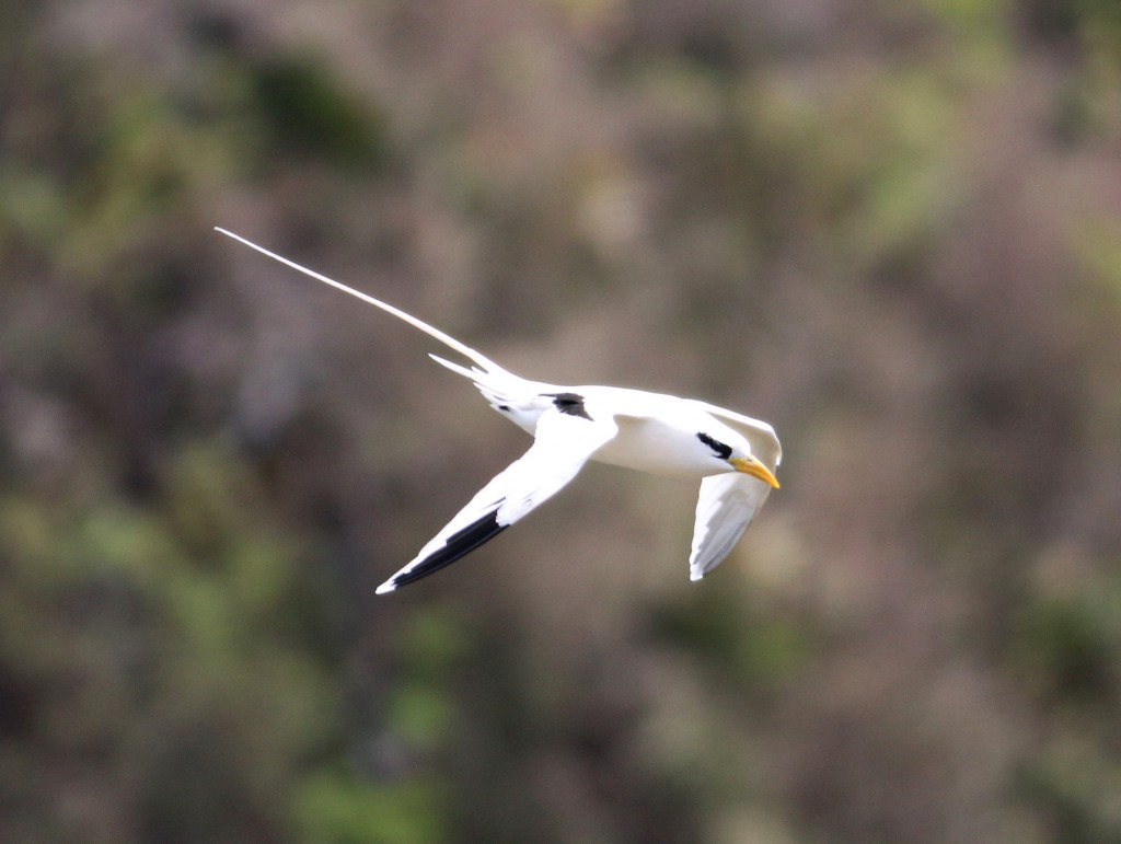 A White-tailed Tropicbird. Note the yellow bill and black patches on the secondaries. Although they are seen here annually, I was later told that this was the first one sighted on Little Tobago this year.