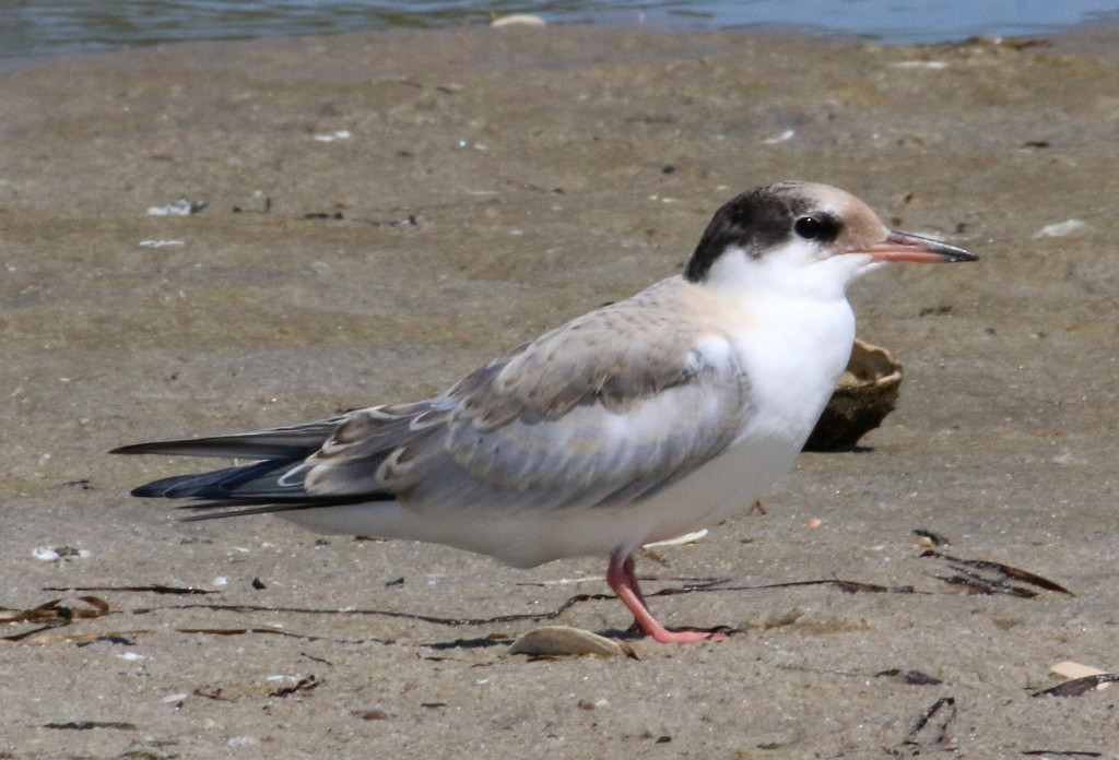 Common Tern immature