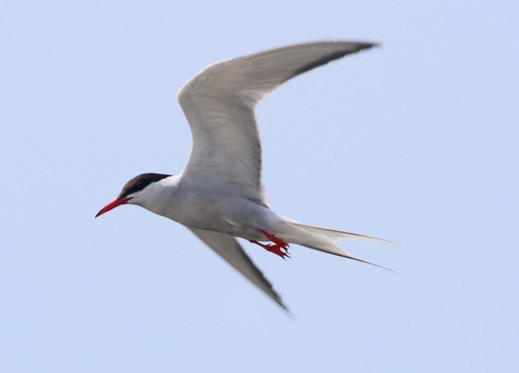 Common Tern outer retrices