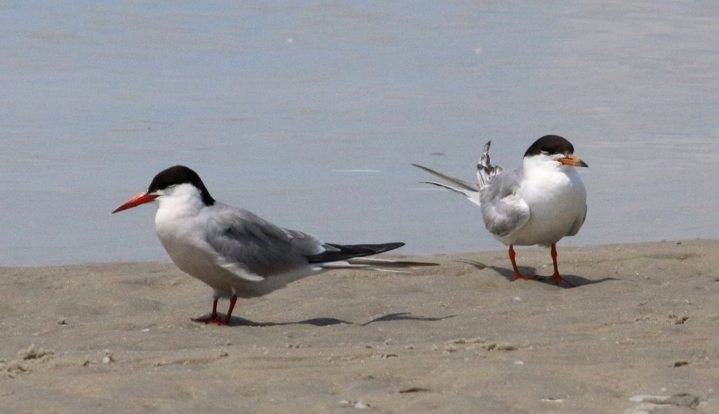 Common and Forster's Terns2