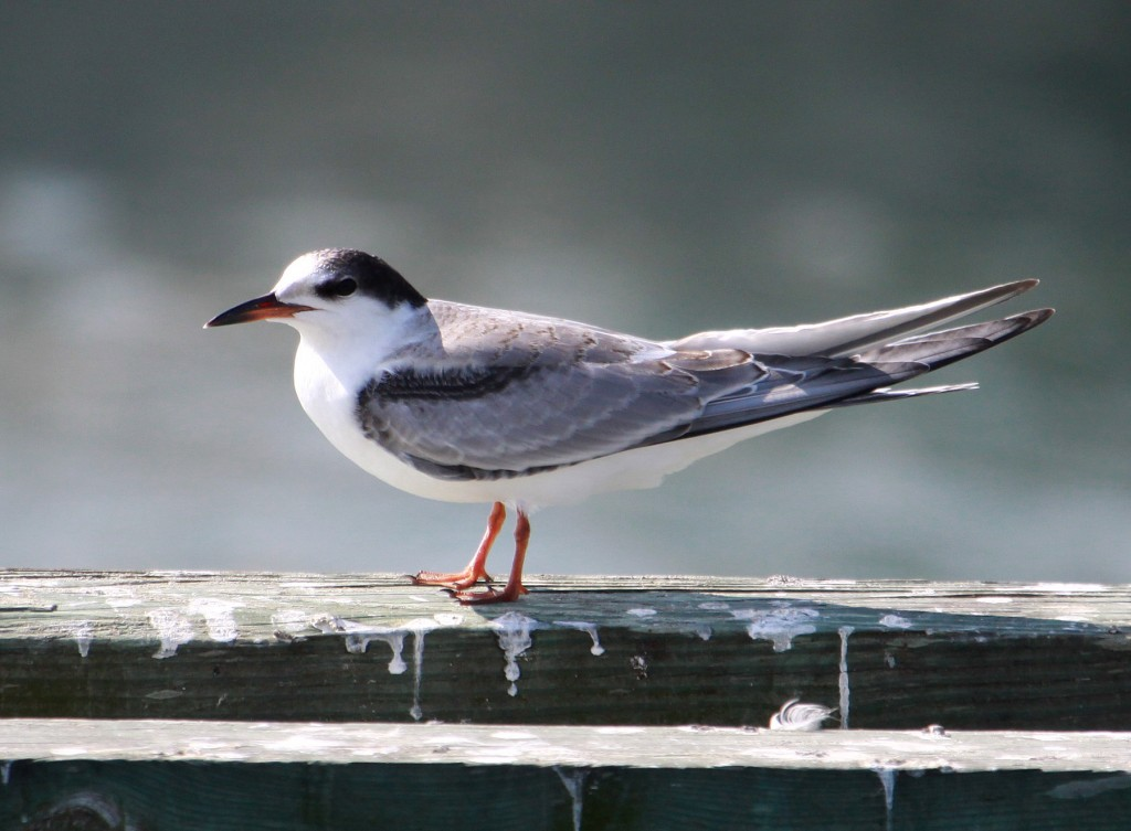 Common tern fall2