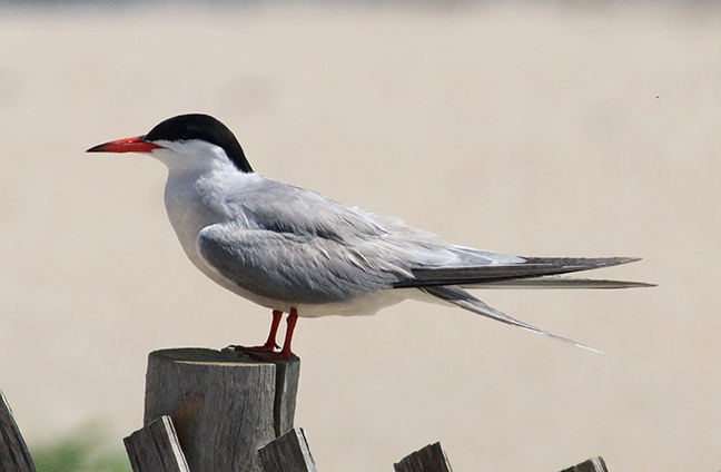 Common tern side view