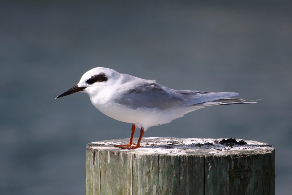 Forster's tern fall