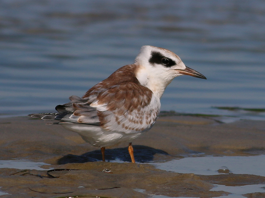 Juv Forsters Tern