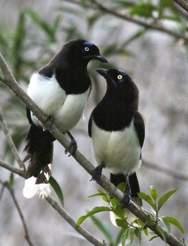 Black-chestred Jays