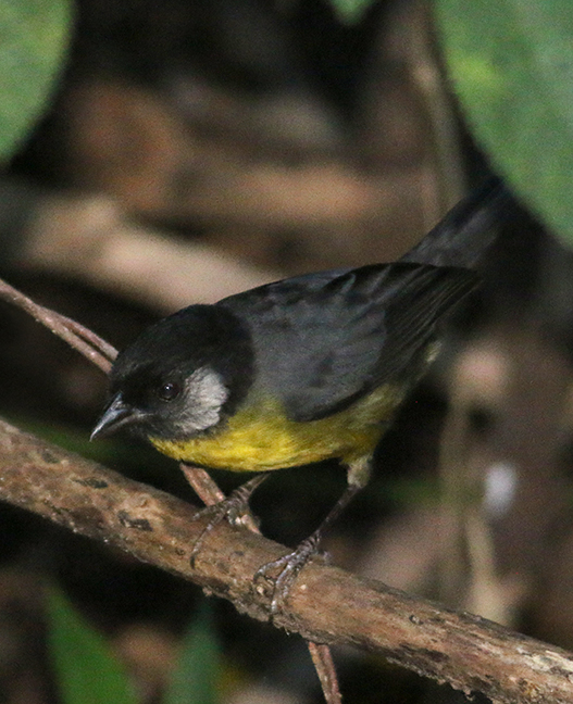Brush-finch