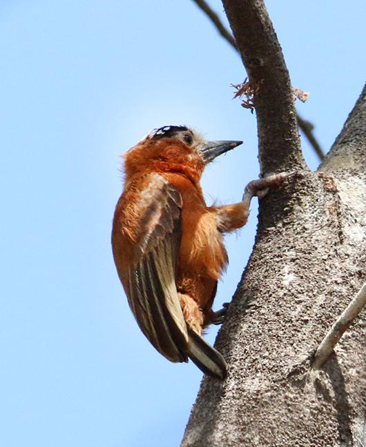 Chestnut Piculet