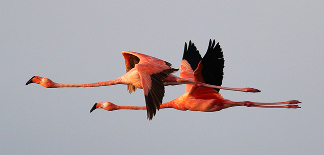 Flamingo flight