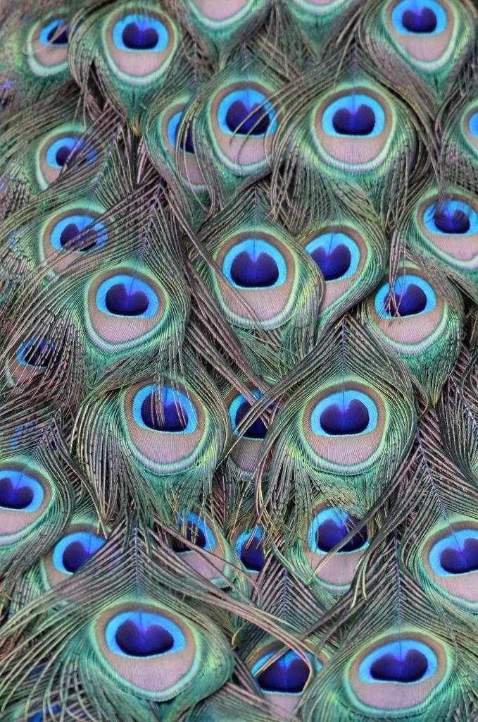Peacock detail