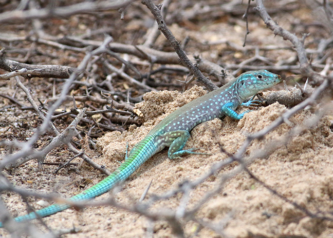 Rainbow Whiptail
