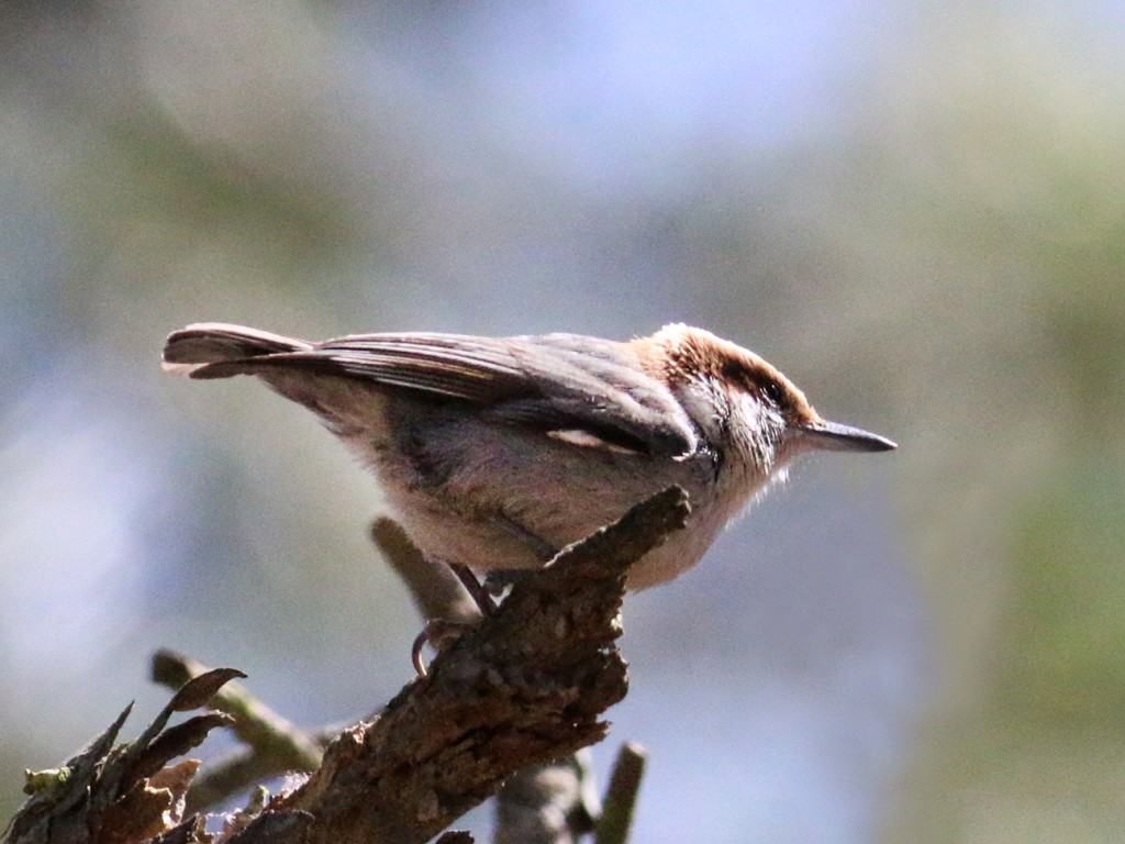 Brown-headed Nuthatch2