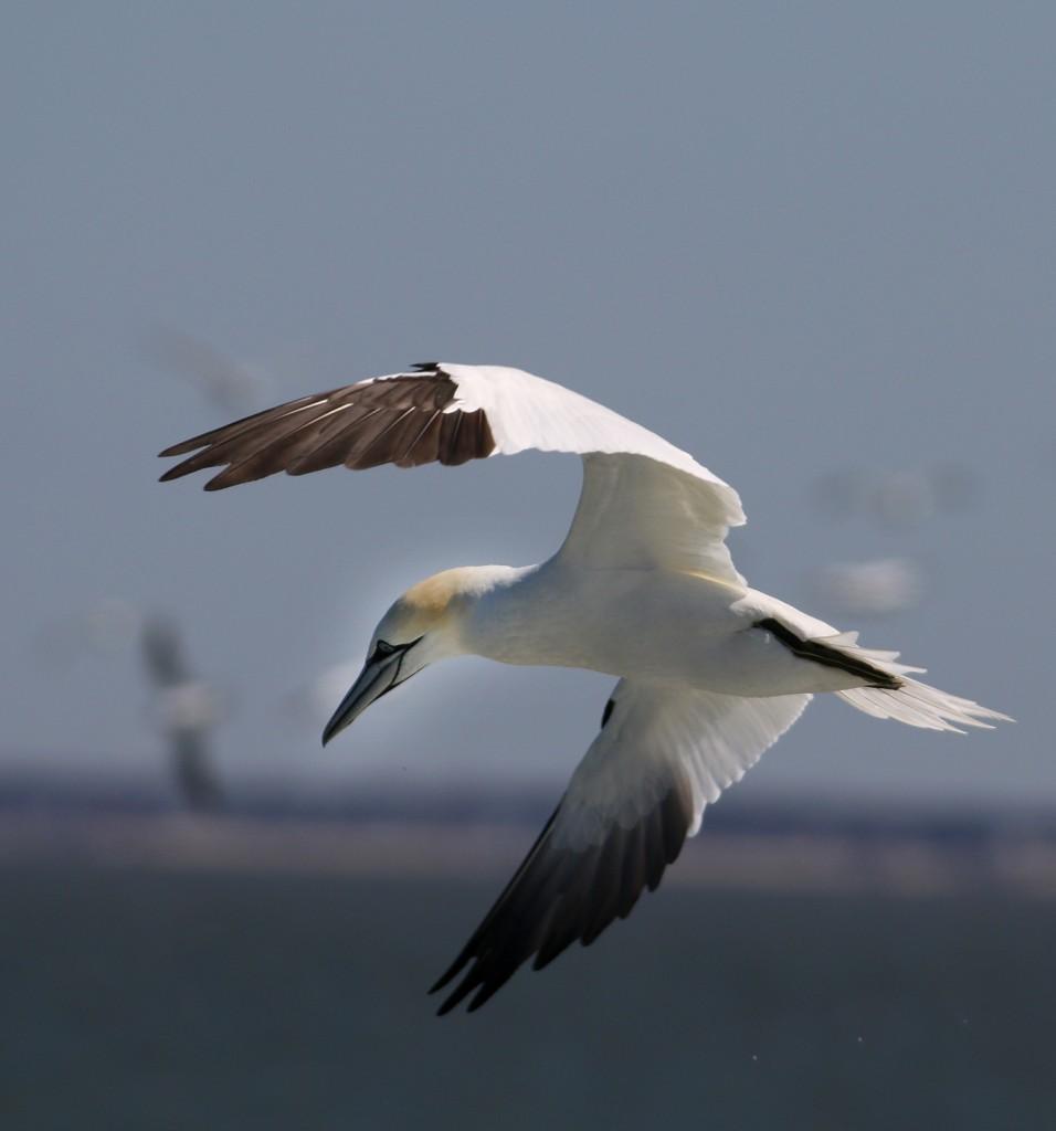 Gannet hover
