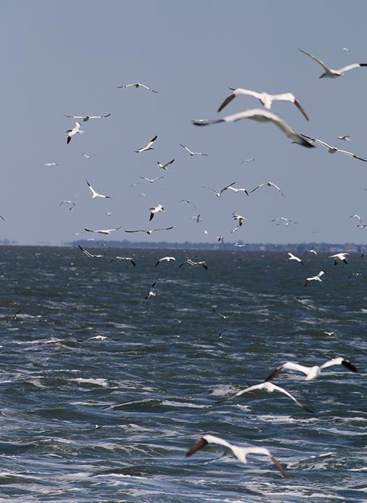 Gannets feeding
