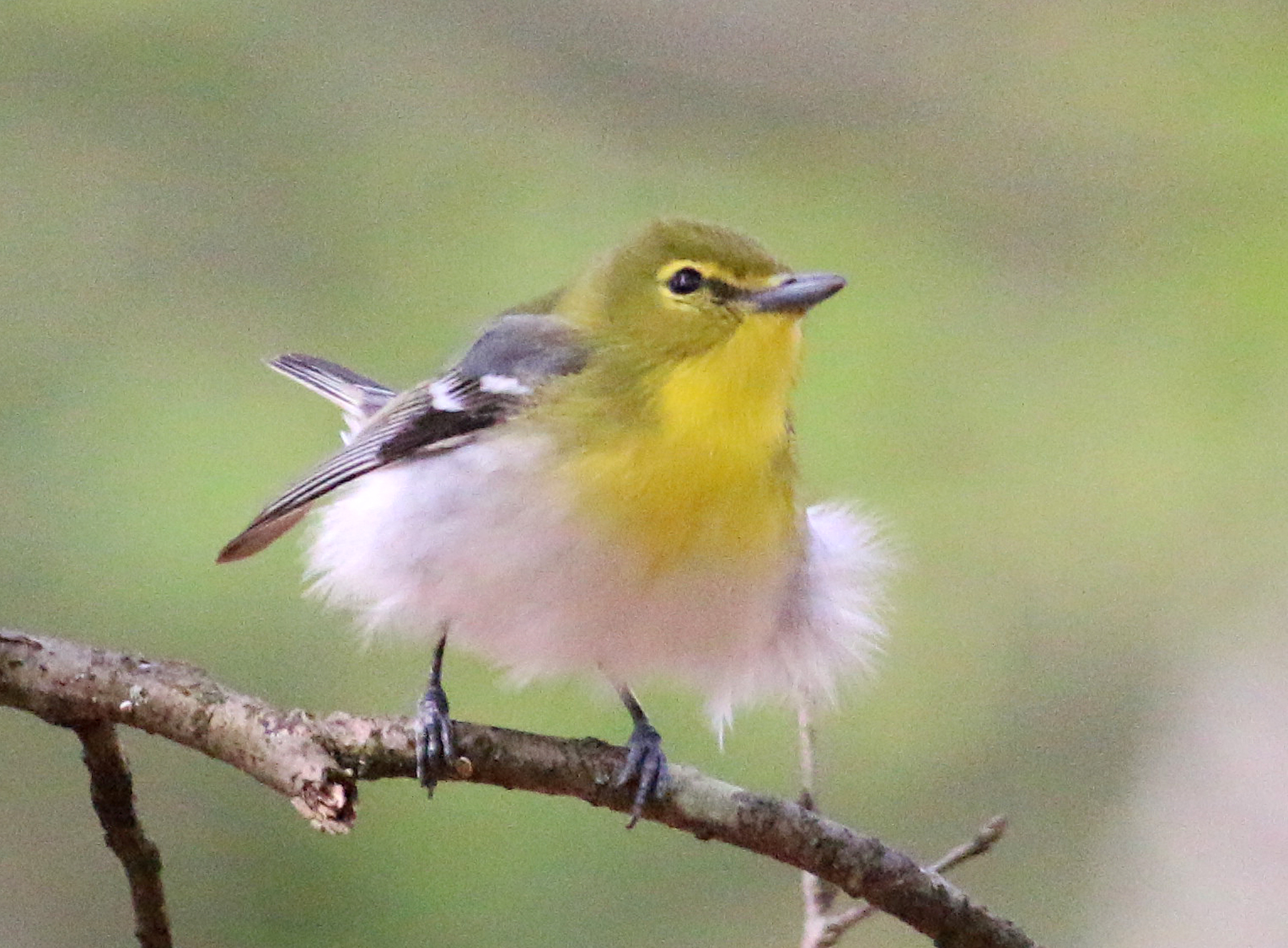 Yellow throated vireo fall - photo#29