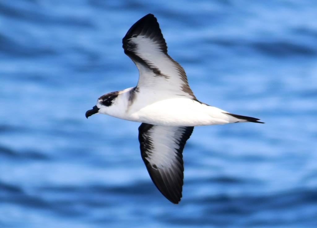 black-capped-petrel