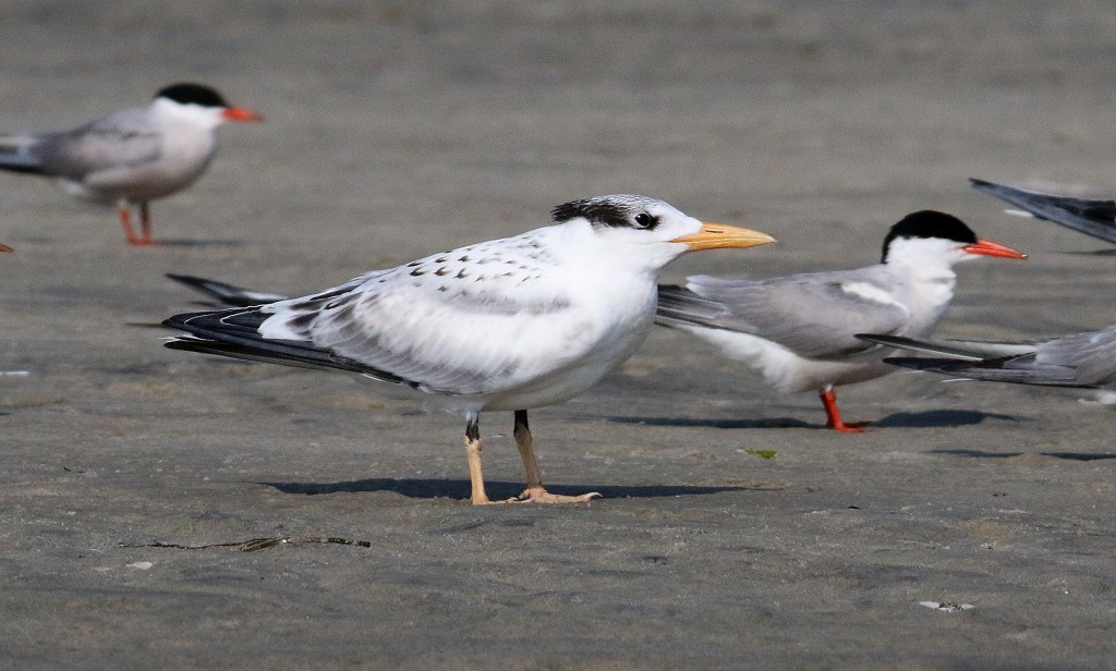 royal-tern-immature