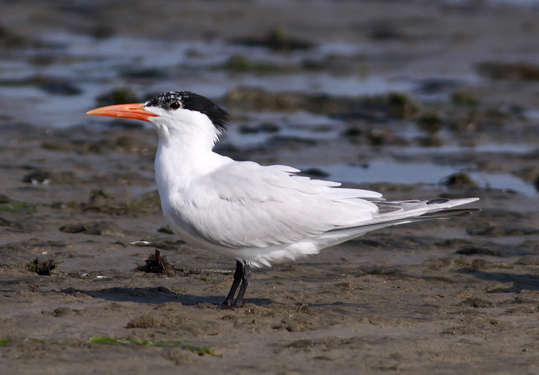 Royal Tern Identification All About Birds Cornell Lab of