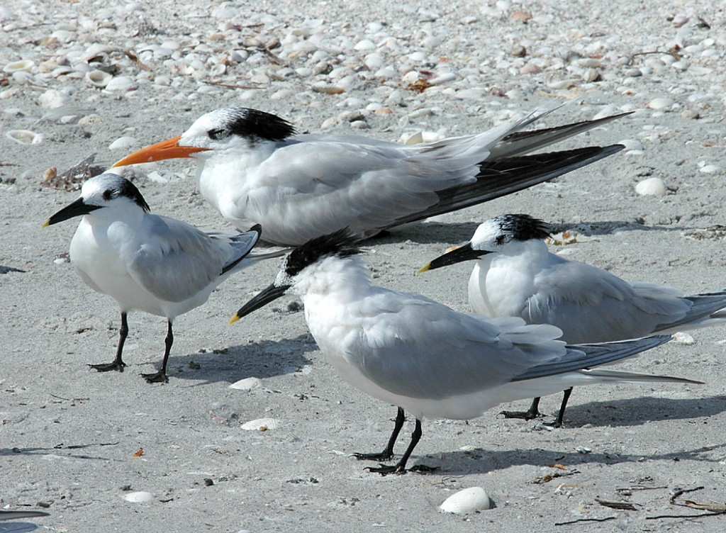 sandwich-and-royal-terns