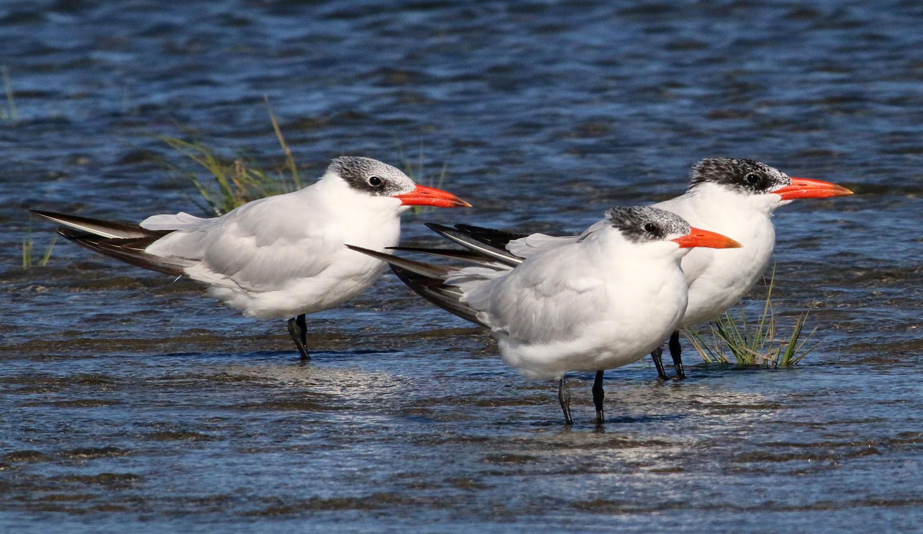Royal tern  Wikipedia