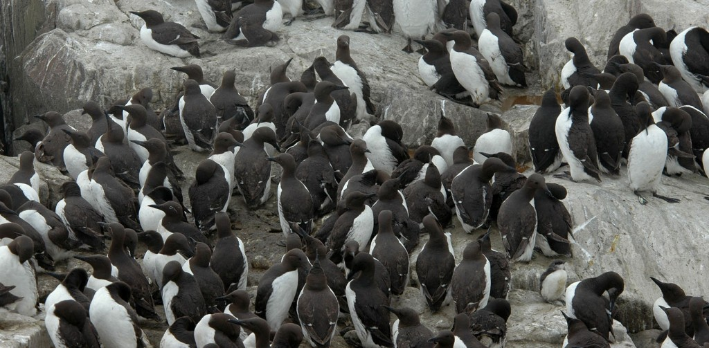 057-common-murre-crowd