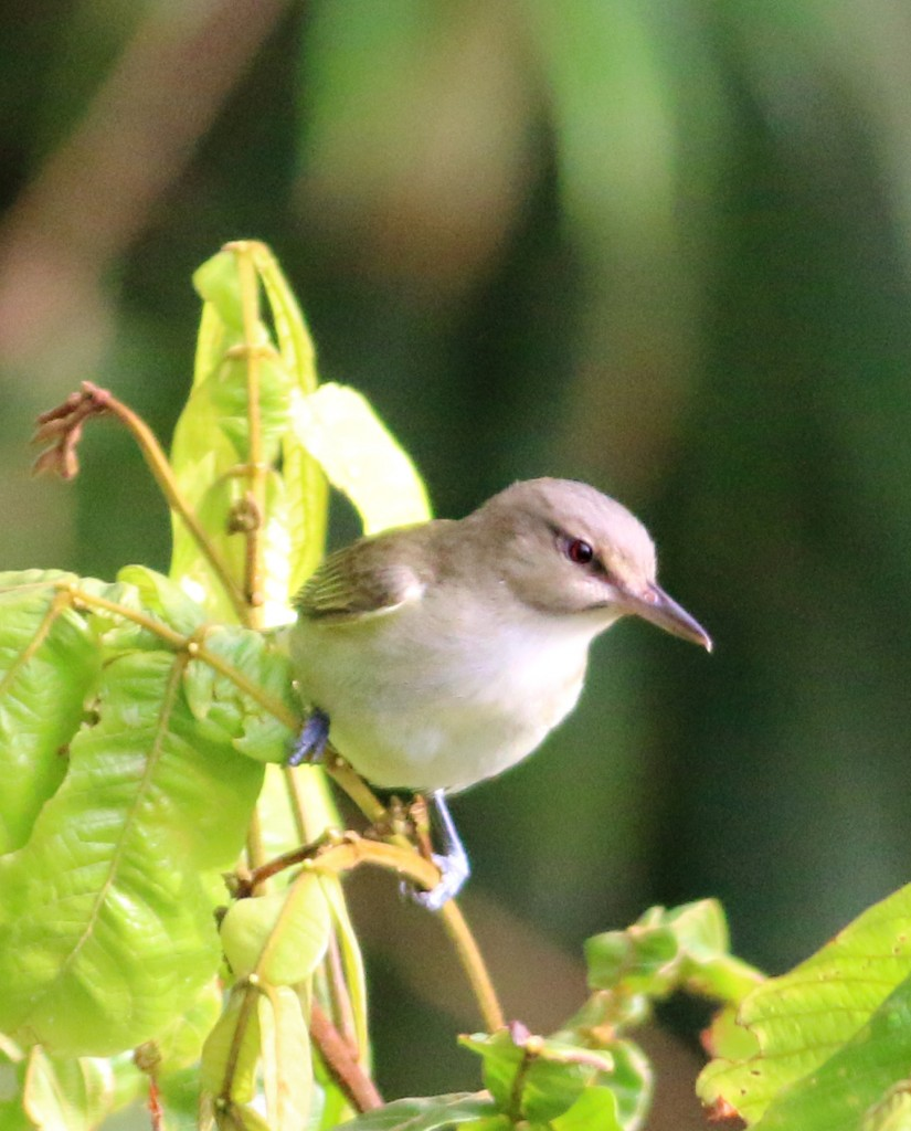 Black-whiskered Vireo2