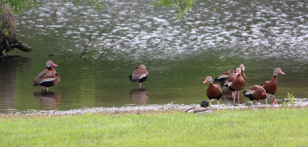 BB Whistling-Ducks
