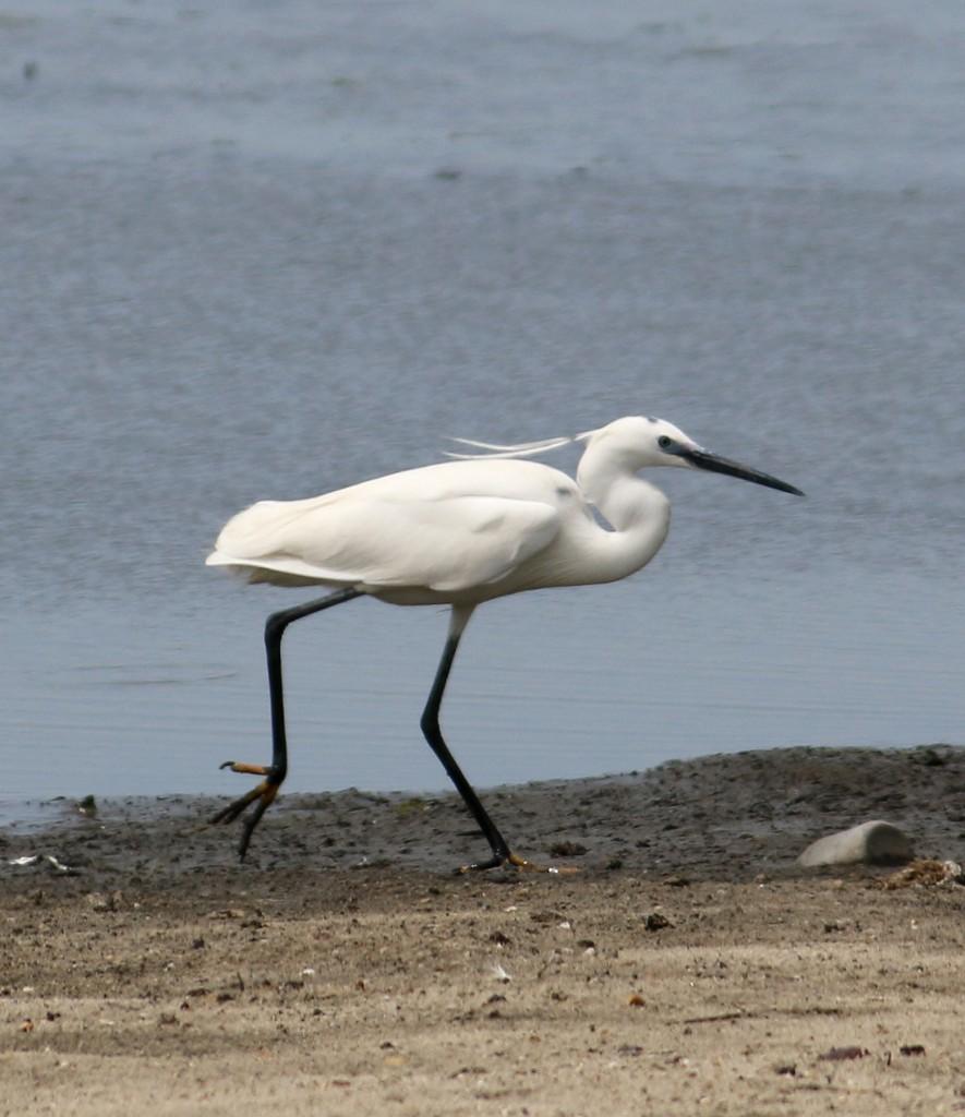 LIttet Egret