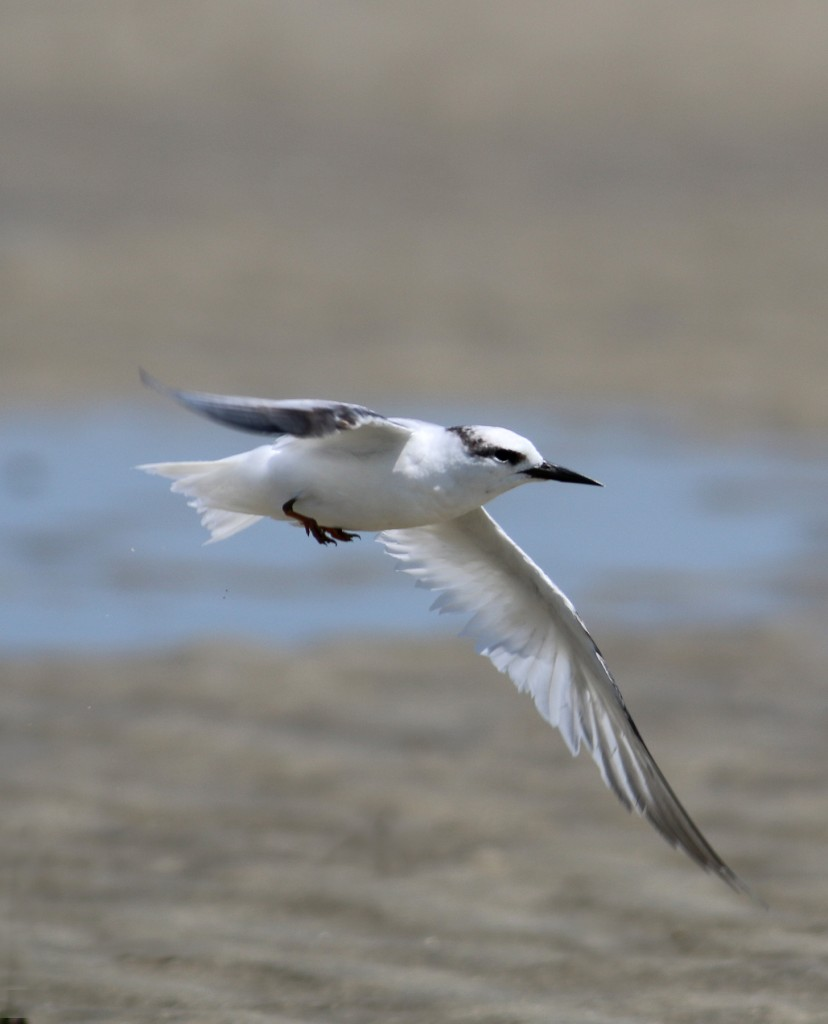 Least Tern flight