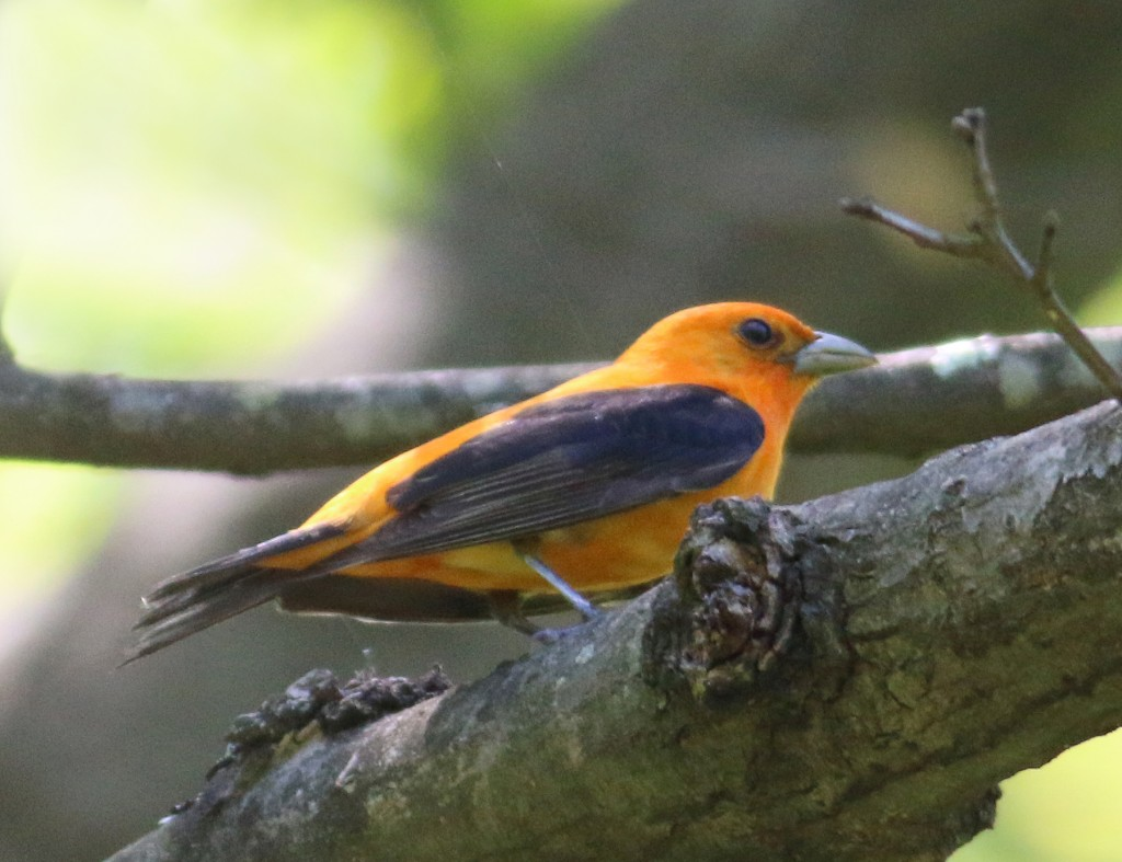 Orange variant Scarlet Tanager.