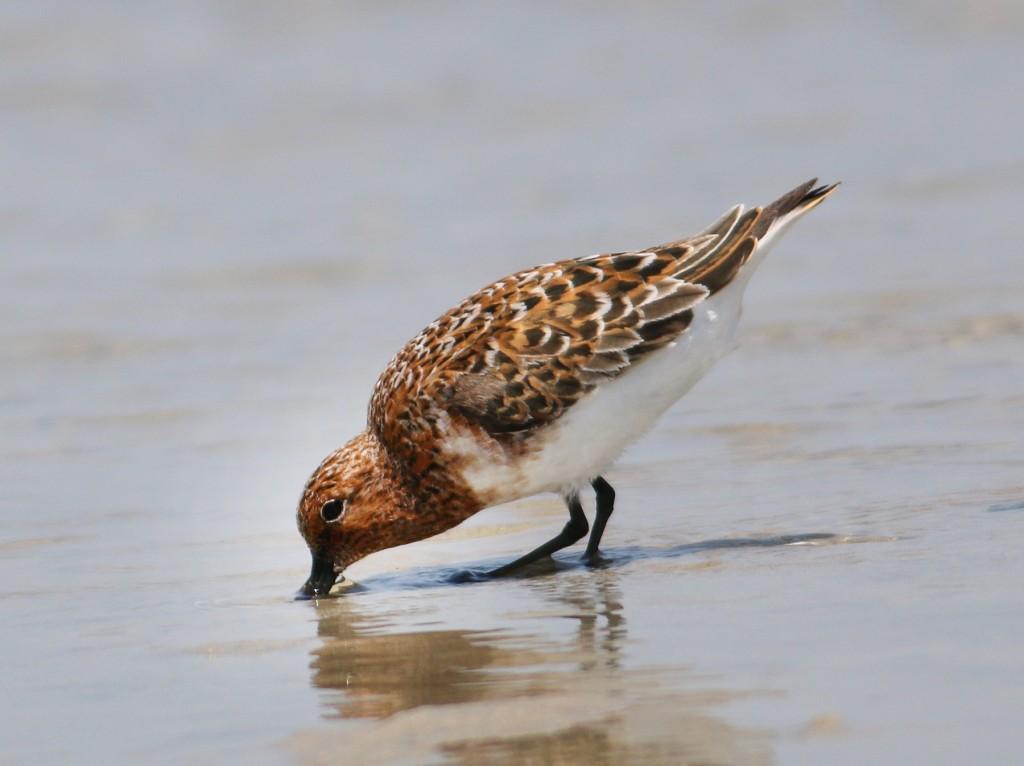 Sanderling feeding2