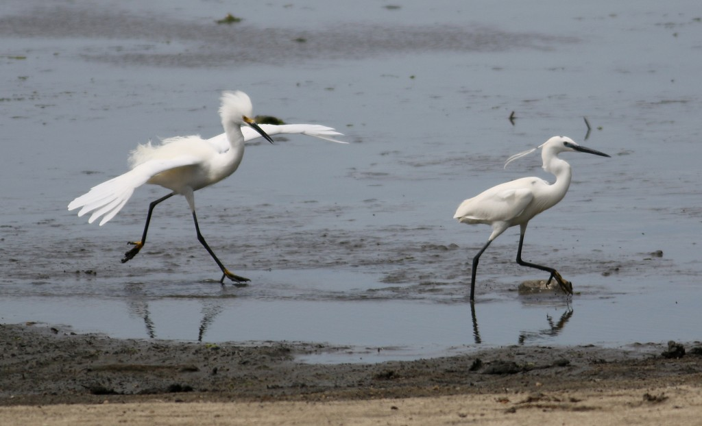 Snowy and Little Egrets