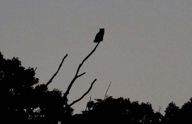 Owl sillhouette