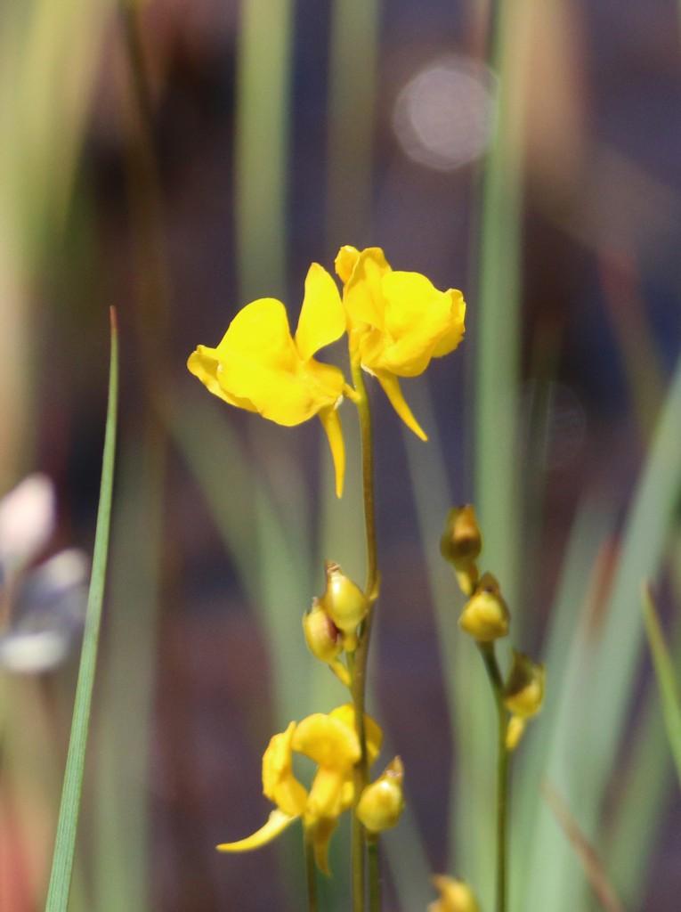 Horned Bladderwort