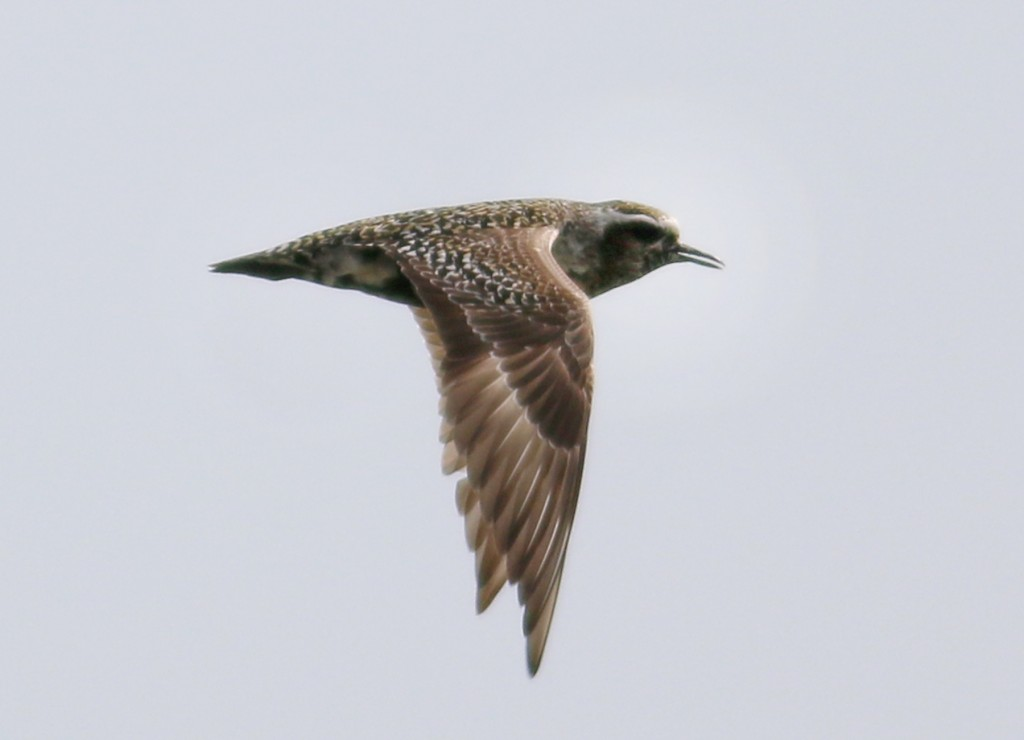 American Golden-plover flight