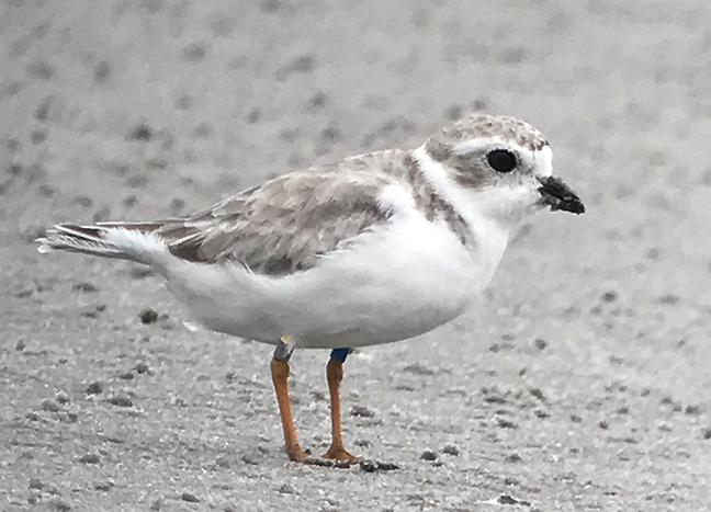 Color banded plover