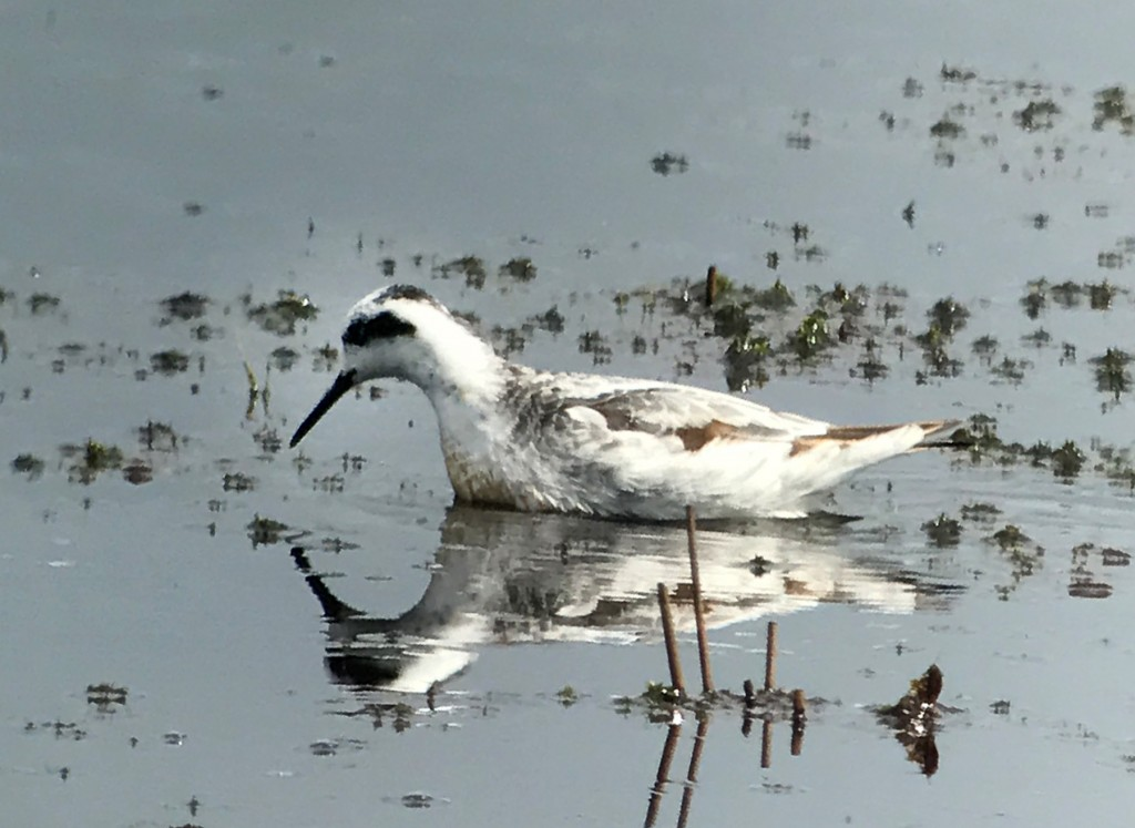 Phalarope brown wings