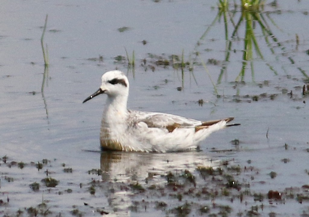Phalarope eye patch
