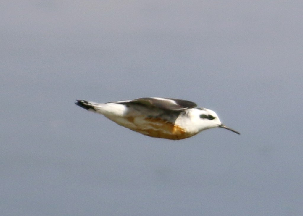Phalarope flight