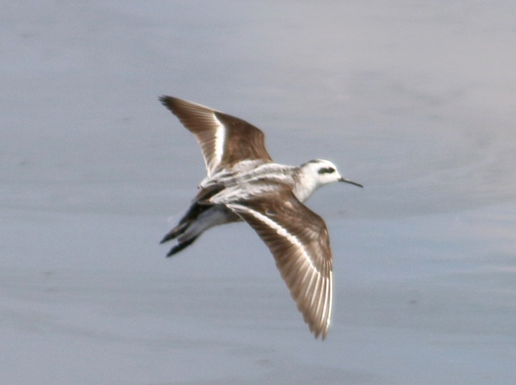 Phalarope wings