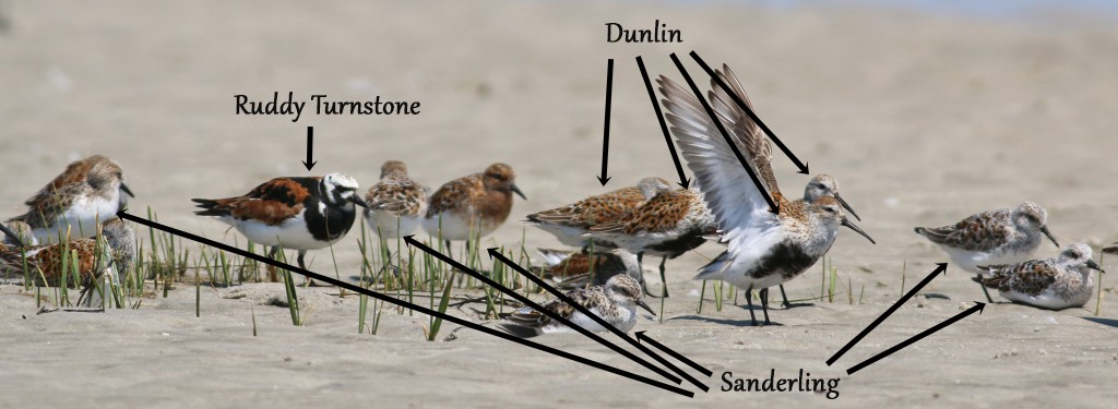 Shorebird-group-IDs