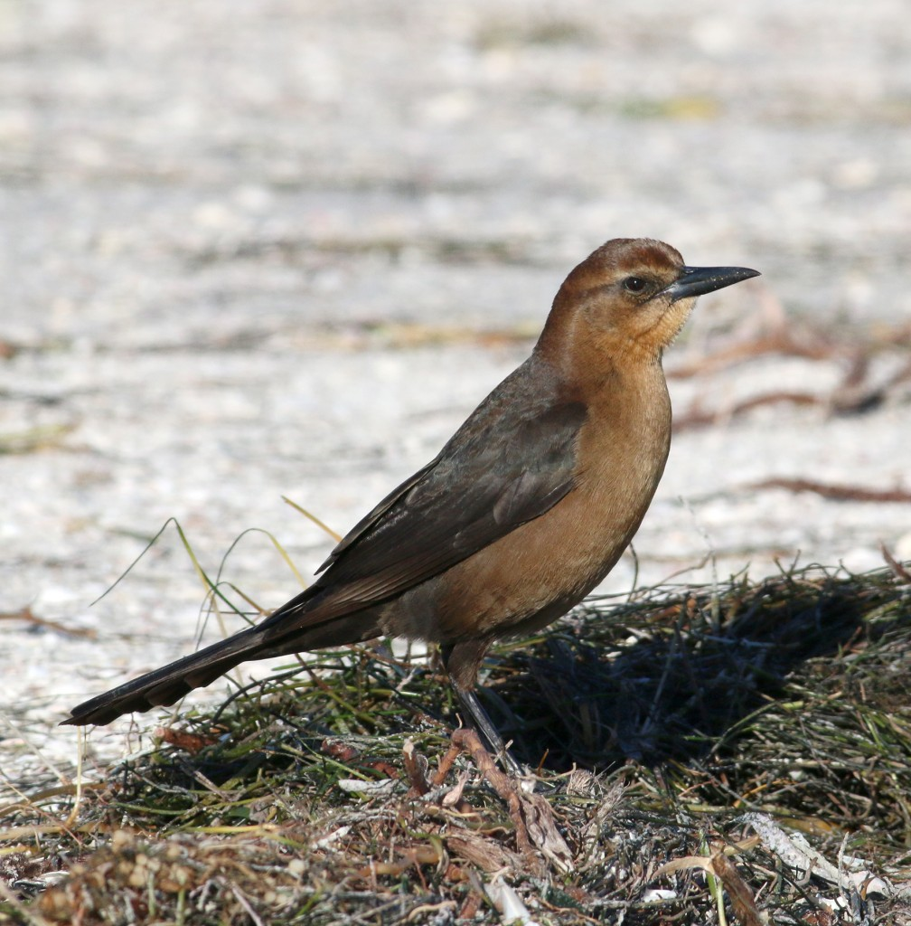 Boat-tailed Grackle2