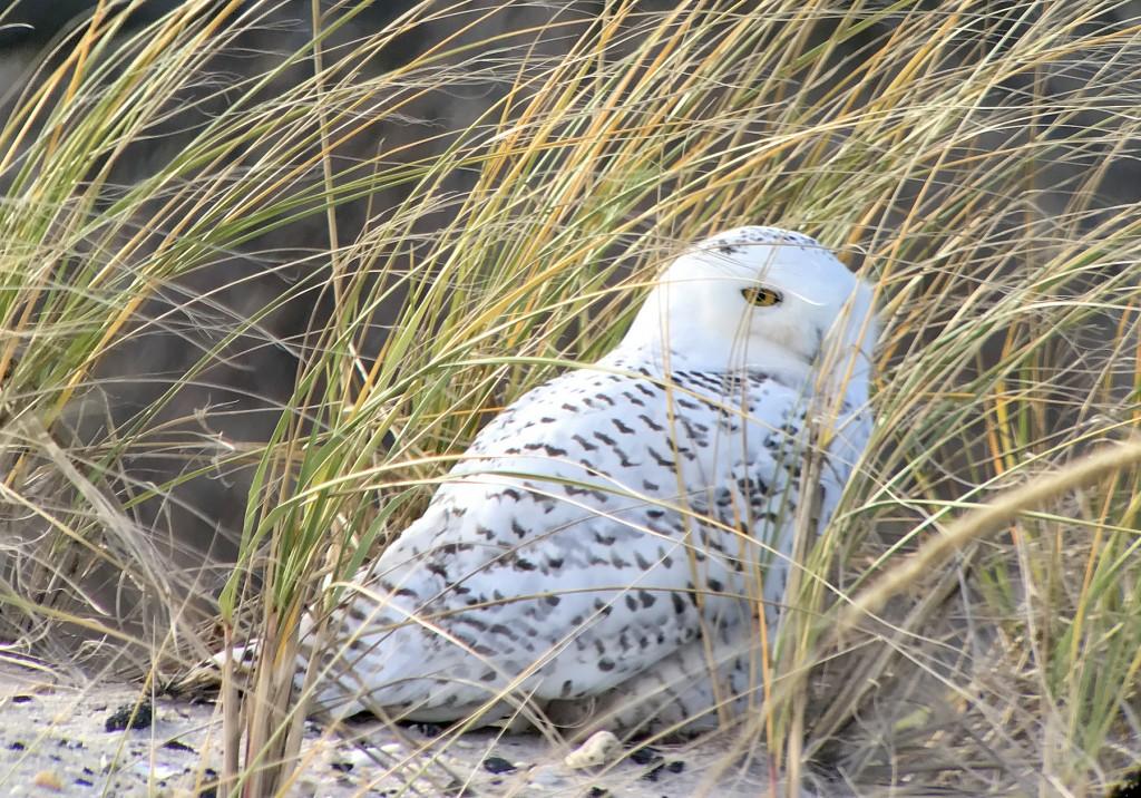 Snowy Owl4