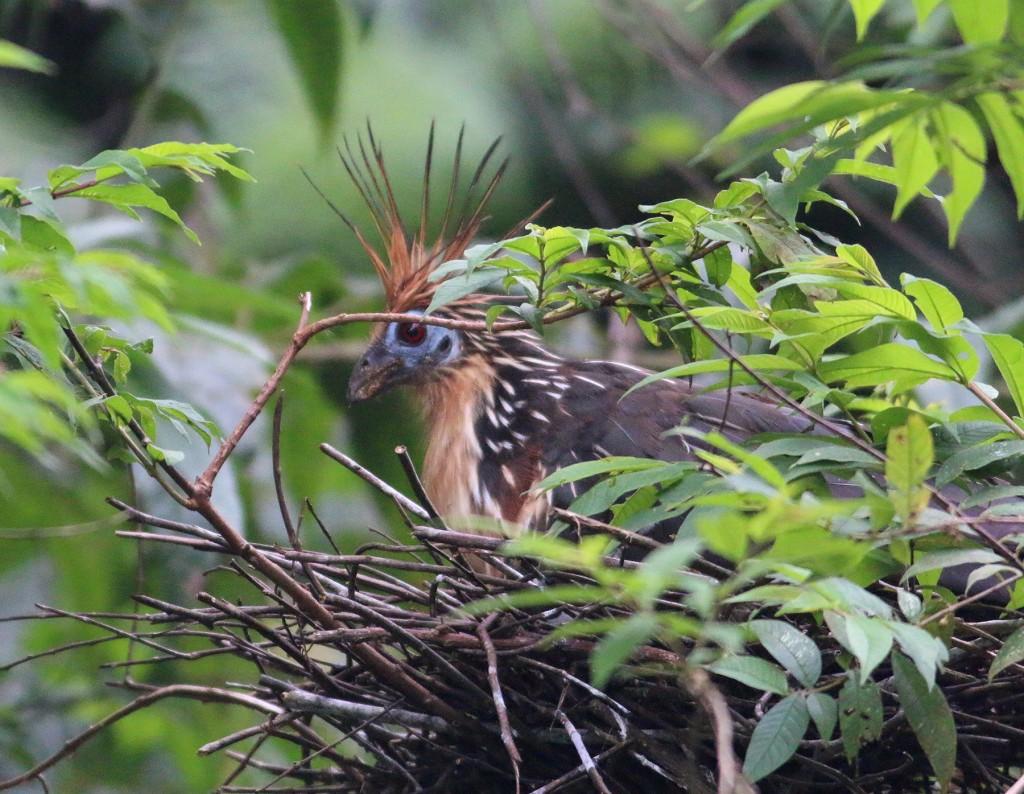 Hoatzin on nest