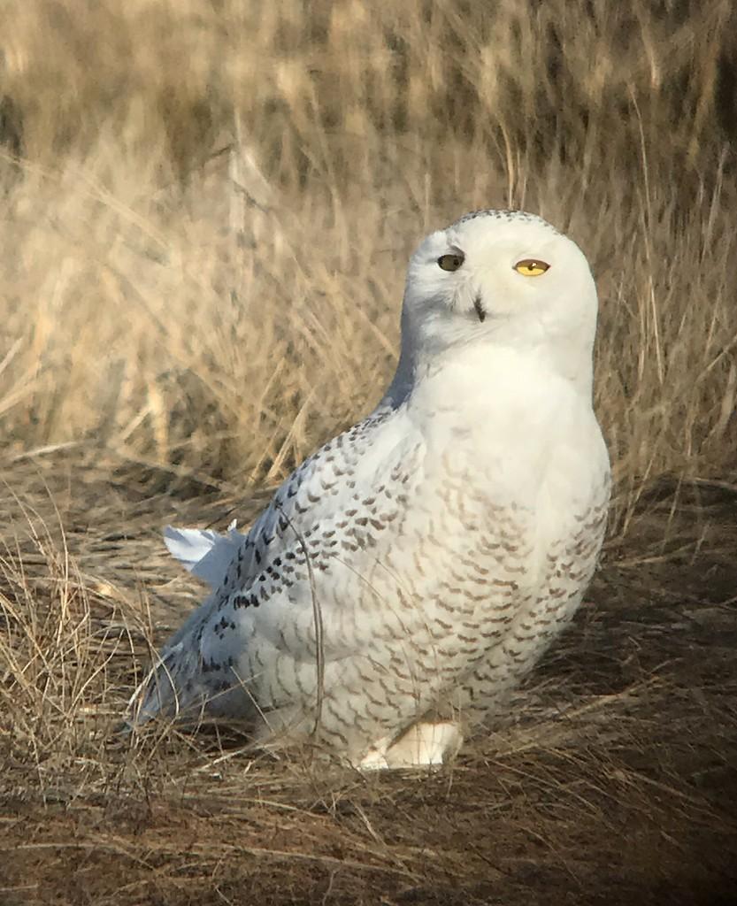 Snowy Owl Brig