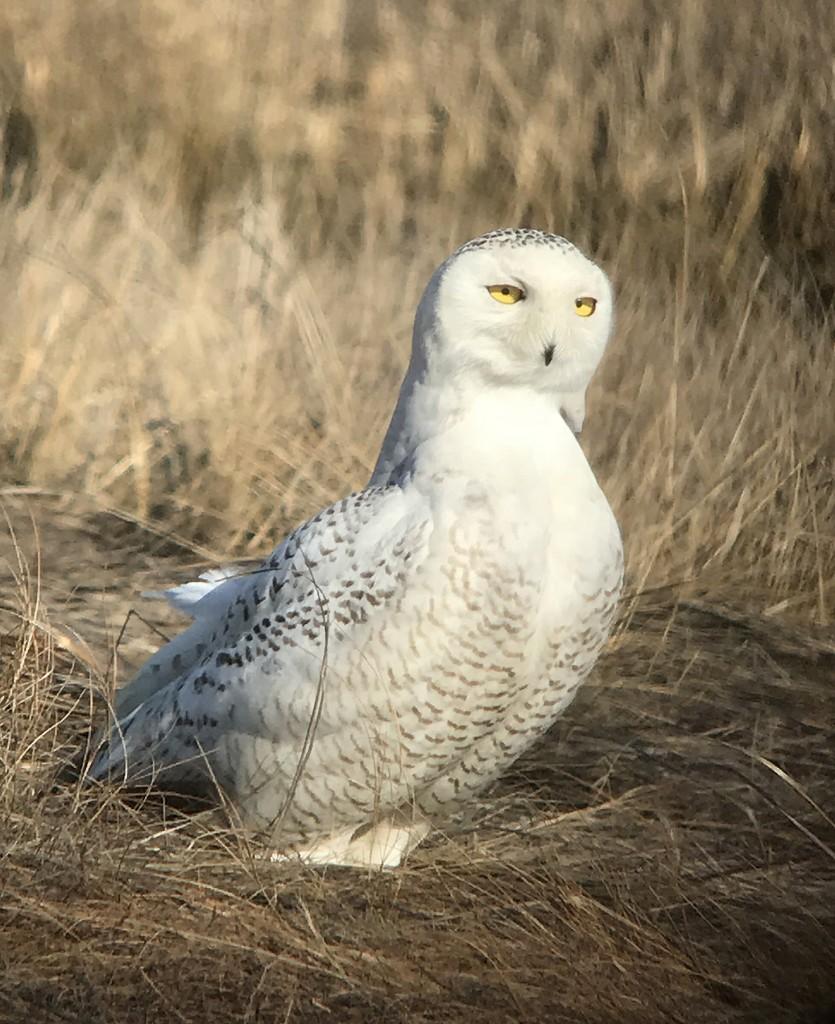 Snowy Owl Brig2