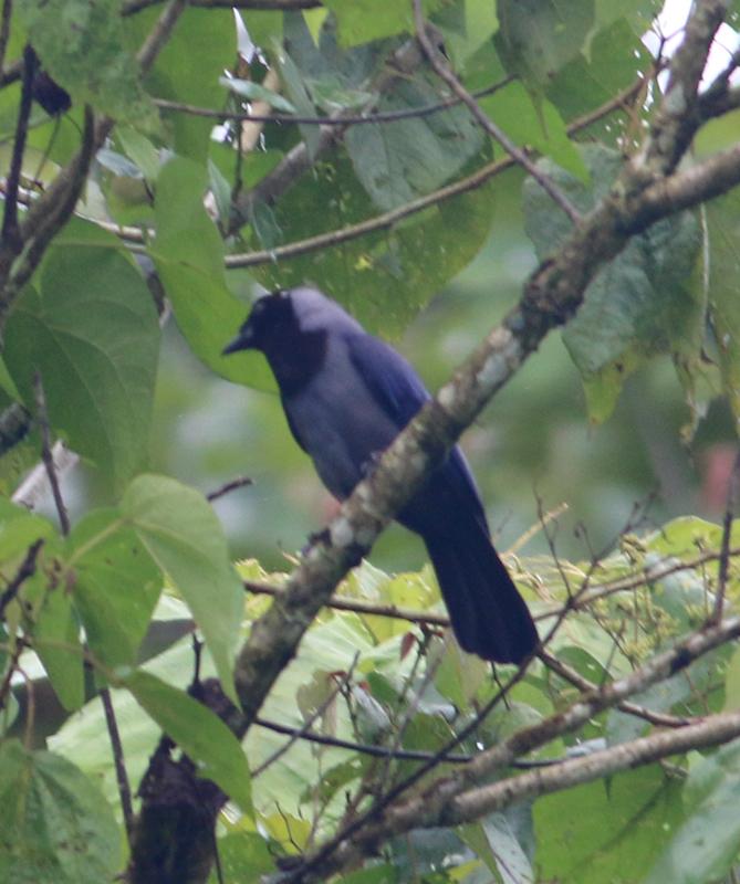Violaceous Jay