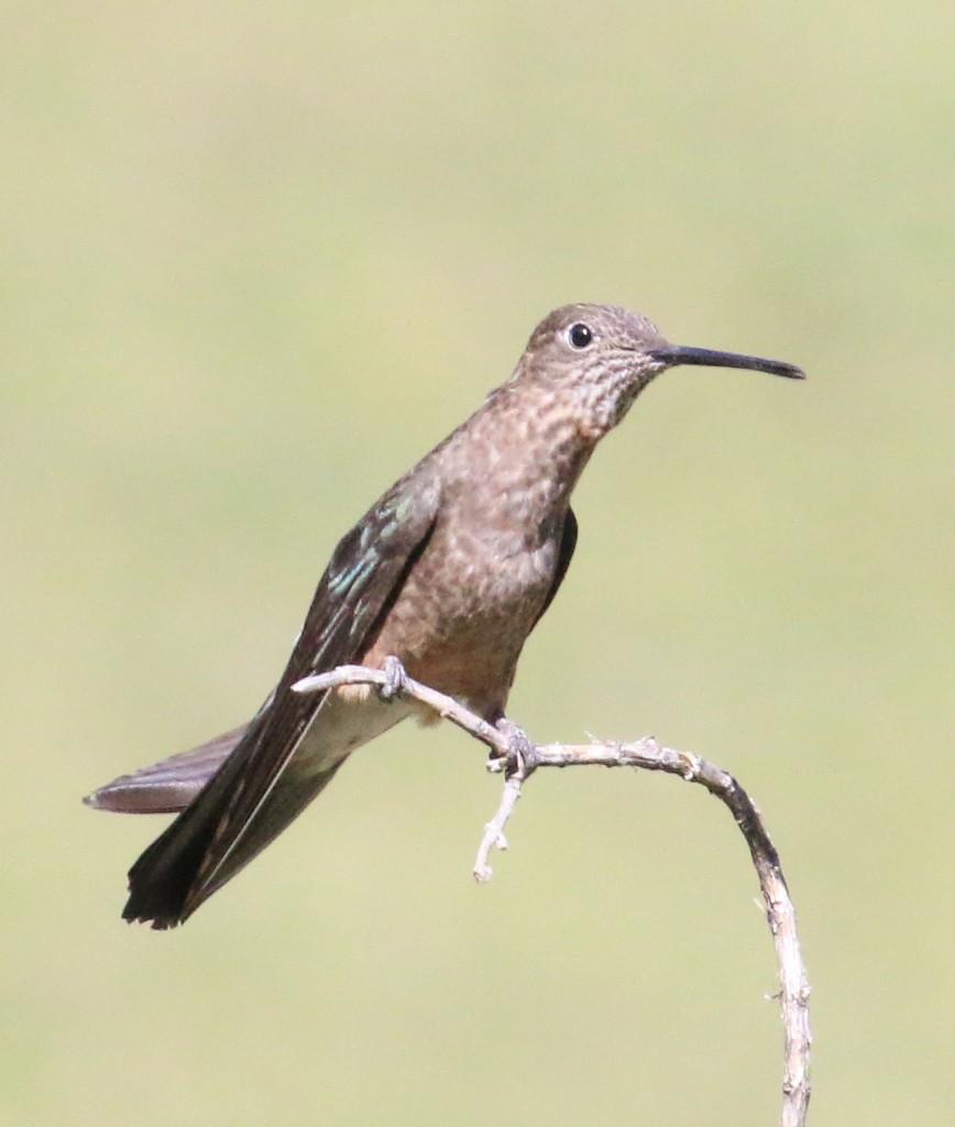 Giant Hummingbird alert