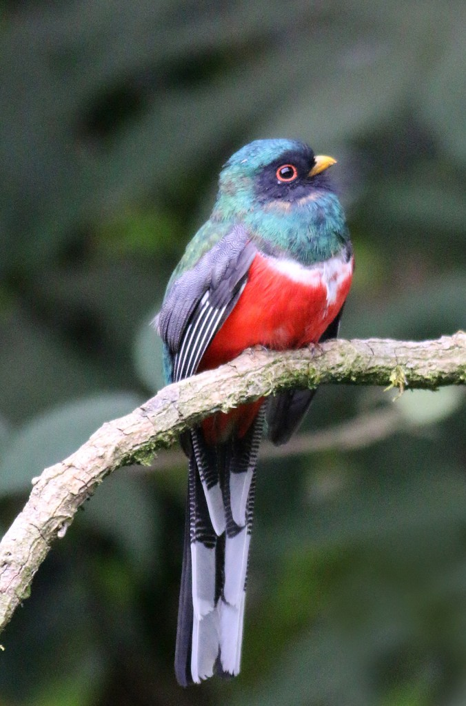 Maked Trogon male
