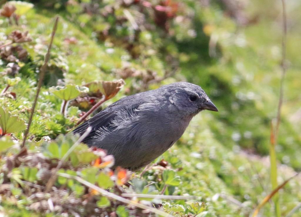 Plumbeous Sierra-finch male